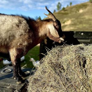 Goat eating bale of hay